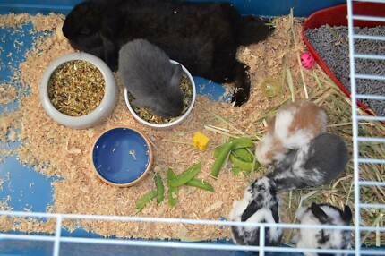 Mini Lop baby rabbits kits available 31/10/15 Maraylya The Hills District Preview