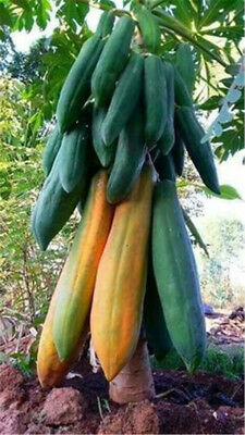 Big Papaya Seed Semente de frutas tropicais Garden Supplies 20 Pcs Bonsai Plant segunda mano  Embacar hacia Argentina