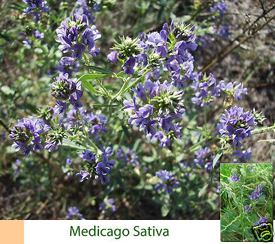 Medicago sativa ( Alfalfa ) +5.000 semillas seeds Luzerne Abono Verde