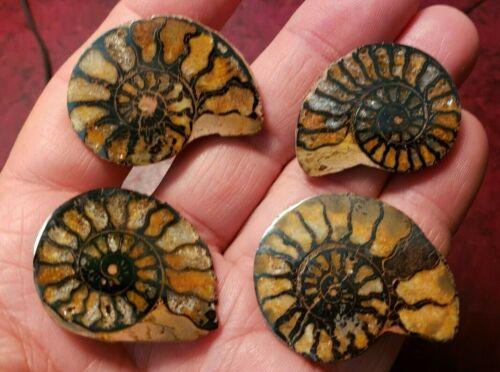 "4 pcs Hematite Ammonite Halves, Jewelry Grade, up to 1-1/2"" - Very Good Quality"