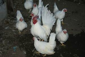 japanese bantams for sale South Windsor Hawkesbury Area Preview