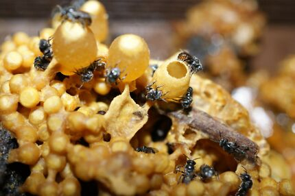 Native Stingless bees