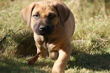 Aussie Hunting Mastiffs two males still available Winkie Berri Area Preview