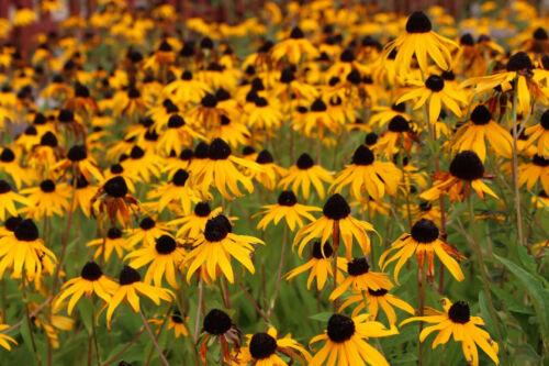 2,500+ Black Eyed Susan (Rudbeckia Hirta) Flower Seeds Yellow FREE SHIPPING