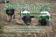 Wessex Saddleback Breeding herd  - Piglets in July! Euchareena Wellington Area Preview