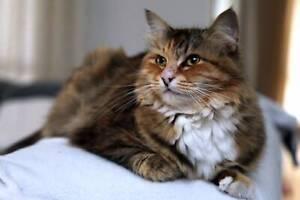 AC1122 : Raffikki - CAT for ADOPTION - Vet Work Included