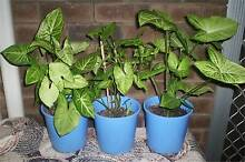 3 X SYNGONIUM PLANTS FOR $10 Forrestfield Kalamunda Area Preview