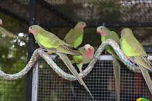 Princess Parrots Seabrook Hobsons Bay Area Preview
