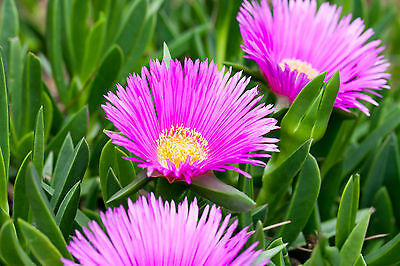 Purple Unrooted Ice Plant Three 5'' cutting Succulent sea sour cape fig Iceplant - Purple Sour