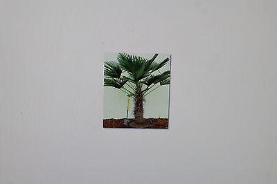 11 SEME tracheocarpus CANAPA resistente al ,Palma canapa,Palma,ALF Reddo fino a