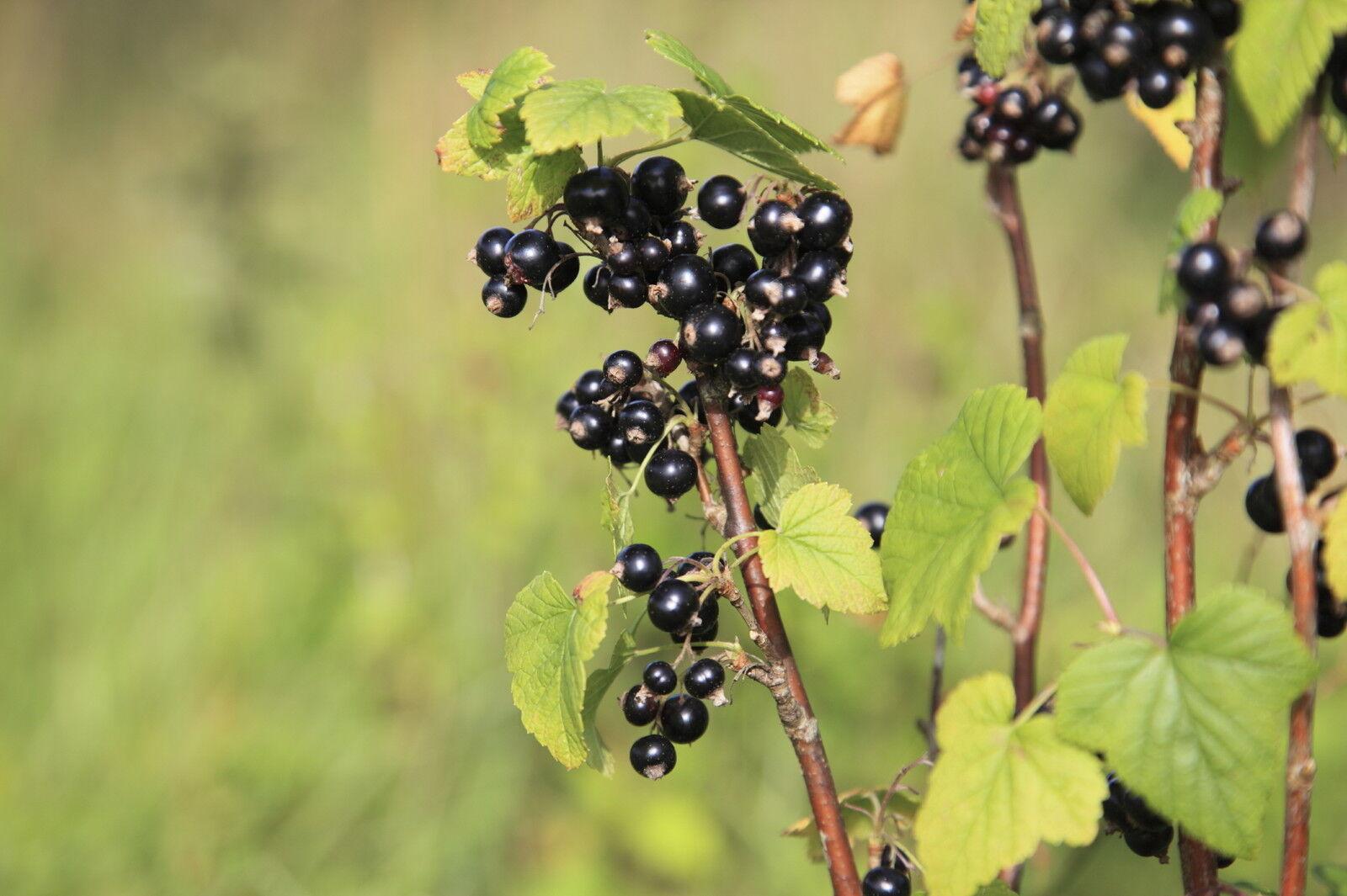1 Blackcurrant Bush Ben Nevis Multistemmed Plant 2-3ft Tall 3fatpigs/®
