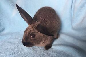Adorable Chocolate Brown Baby Boy Rabbit. Very friendly Wanneroo Wanneroo Area Preview