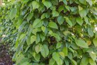 Carpinus betulus / Hainbuche im Container ab Nordrhein-Westfalen - Barntrup Vorschau