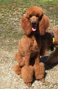 CKC reg Red Standard Poodle Puppies!