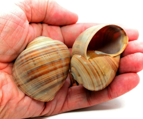 "Large Hermit Crab Shells Land Snail Shells 1.75 - 2"" Natural Shells (Qty 2)"