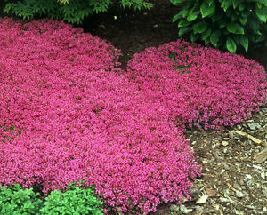 100+ PERENNIAL FLOWER + GROUNDCOVER SEEDS - CREEPING THYME -