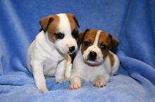 Mini Fox Terrier Puppies Singleton Area Preview