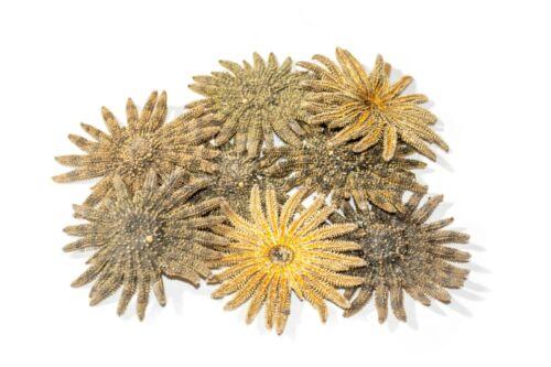 "Multileg Sunflower Starfish Sea Shell Wedding Real Beach Craft 2-3""(8 pcs)#JC-52"