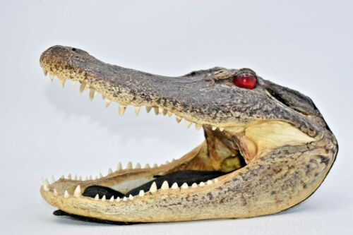 """Creepy Genuine Taxidermy Alligator Head 9"""" Intact - Red Glass Eyes Reptile"""