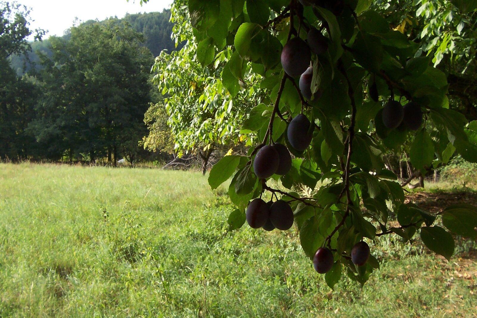 Wiese, Obstbaum Grundstück in Ortsrandlage,