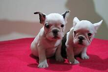 PUREBRED FRENCH BULLDOG PUPPIES! Sydney City Inner Sydney Preview