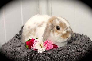 Spayed Holland Lop Doe