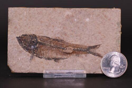 "Fossil Fish 3.2"" Knightia Green River Formation Wyoming COA 10614"