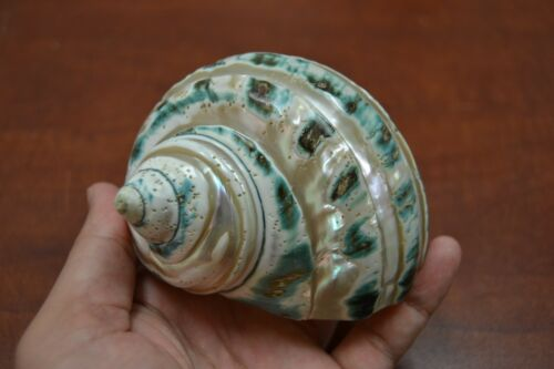 """PEARL GREEN MOTHER OF PEARL BANDED TURBO SEA SHELL HERMIT CRAB 3 1/2"""" - 4"""" #7966"""