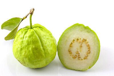 India Sweet Fruit - 100 Fresh Large White Guava Sweet Fragrance Fruit Seeds
