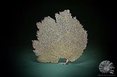 Gorgonia ventalina + Gorgoniidae + Hornkoralle + Koralle + coral + Präparat