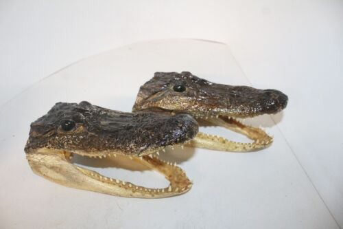 2 Medium Alligator heads  009     8 inches