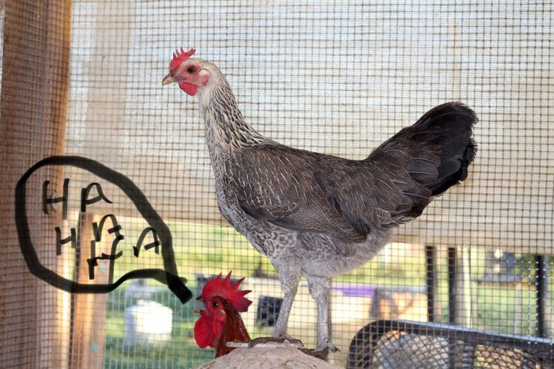 Ayam Ketawa 6 Hatching Eggs Laughing Rooster  Ends Tuesday Night.