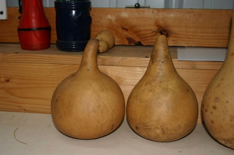 "GOURDS  6 -  UNDER 5"" SECOND  QUALITY MARTIN GOURDS (DRIED  AND CLEANED)"