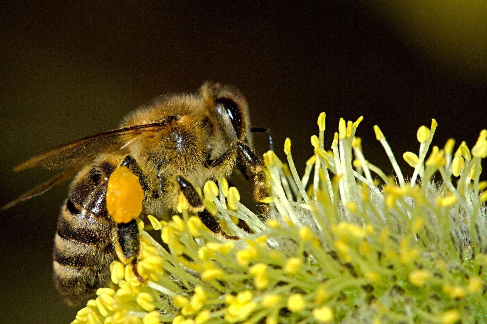 BEE POLLEN Pure Organic Bee Pollen Granules 3 oz FDA Certified 3