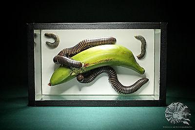 Spirostreptus gigas + Spirostreptidae + Tausendfüßer + millipede + Glaskasten