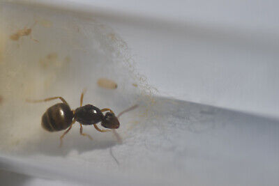 Live Queen ant Lasius flavus with eggs and brood 1-5 workers (starter kit)