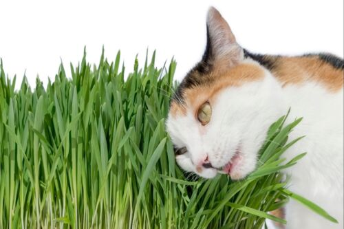 CAT GRASS (Wheat Seeds ) 1LB (13,500+ Seeds) -Grow Your Own Pets Garden !