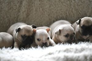CKC French bull dog puppies