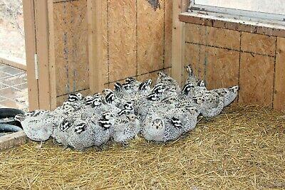 15 Snowflake Bobwhite quail eggs Ready to ship now