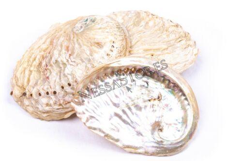 "Midae Abalone Sea Shell One Side Polished Beach Craft 3"" - 4"" (3 pcs) #JC-154"