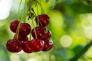 Stella Cherry Tree 4-5ft 5L Pot Self-Fertile& Ready to Fruit.Dark Red,Very Tasty