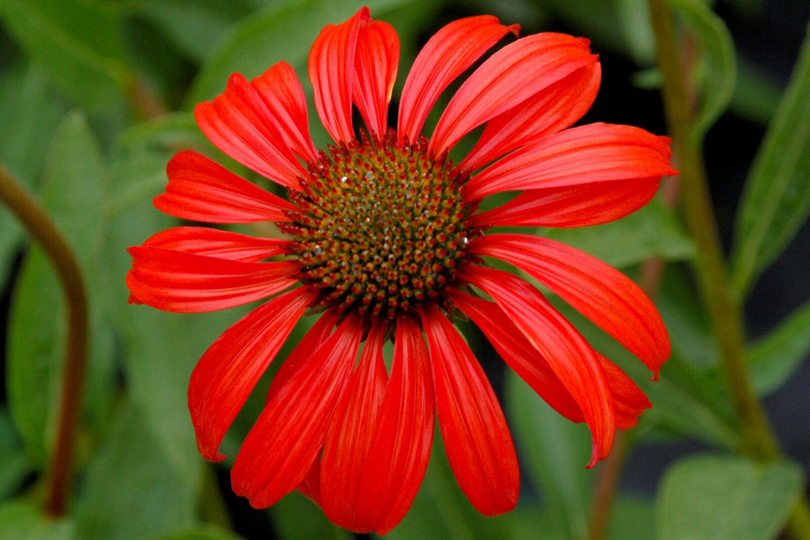 Prachtstaude, Sonnenhut, rot, winterhart, 50 samen, bekannte Heilpflanze