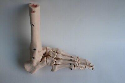 Human Foot And Ankle Anatomical Skeleton Bone Model Medical Podiatry