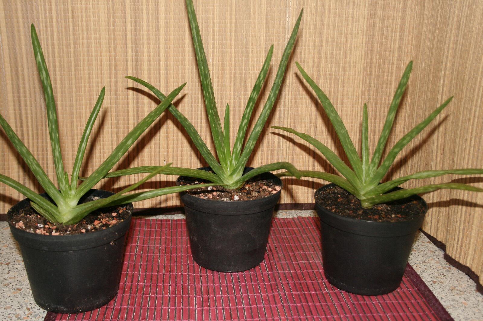 Aloe Vera Pflanze - Echte Aloe Vera Barbadensis Miller 30cm groß