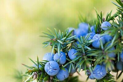 100% Juniper Berry Essential Oil - Juniperus communis Artisanal Natural Oil A1