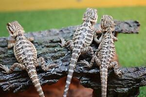 Male central bearded dragon hatchlings South Toowoomba Toowoomba City Preview