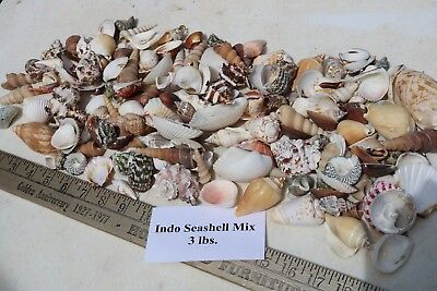 Large Sea Shells (3 lbs. Large Indo Seashells Sea Shells Best Price FREE Ship!)