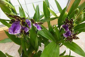 Orchidee Zygopetalum Duftorchidee Zimmerpflanze traumhafte Blüten *selten*