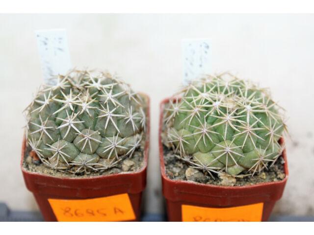 Coryphantha scolymoides x2 rare cacti kaktus tephrocactus pediocactus MARcacti