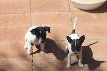 Miniature fox terrier puppies for sale Warren Warren Area Preview